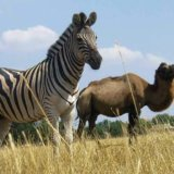 Preserve Askania-Nova, zebra