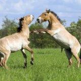 Заповідник Асканія-Нова,коні Прожевальского