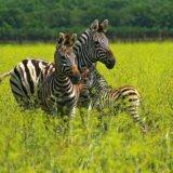 Асканія-Нова зебри