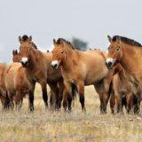 Preserve Askania-Nova, the horses of Prozhevalsky