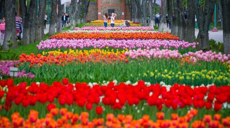 Кировоградский Дендропарк,тюльпаны