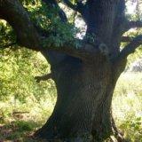 Kinburn Spit. The Pushkin Oak