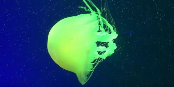 Медуза шапочка