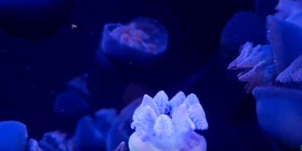 Медузы похожи на брокколи
